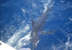 Looking For a Big Blue Marlin?