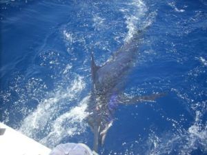 Blue Marlin being revived.