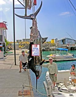 """""""Sharked"""" Grander Blue Marlin for Capt. Jeff Rogers"""