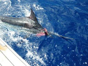 Capt. Thiago Felzen releases a Brazil Blue Marlin
