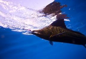 2009 Billfisheries of the Year – #8…Guatemala