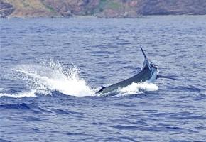 2009 Billfisheries of the Year – #4…Madeira