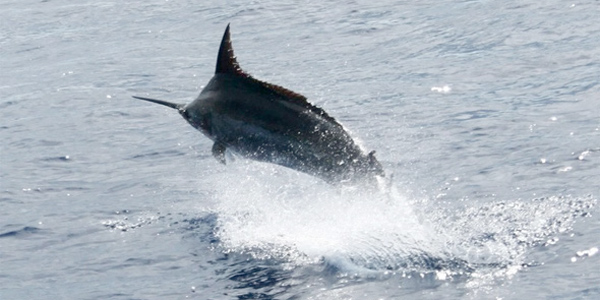 Brazil Blue Marlin Part II