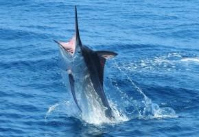 Black marlin v. blue marlin – the debate