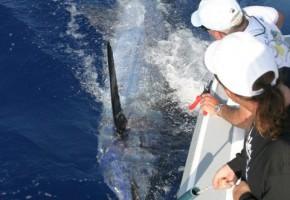 900+ Madeira Blue Marlin