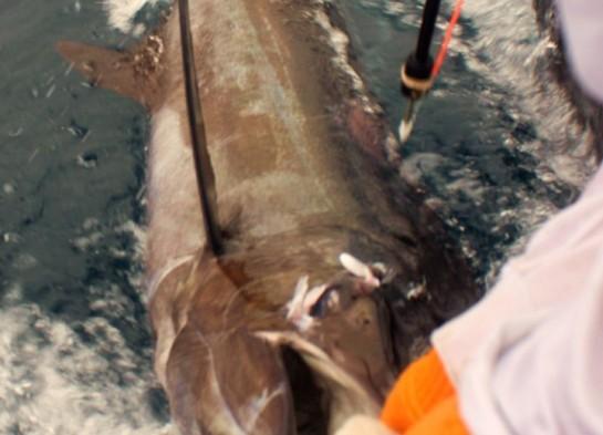Blue Marlin II