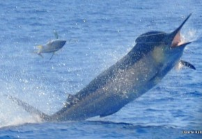 Bazaruto Black Marlin