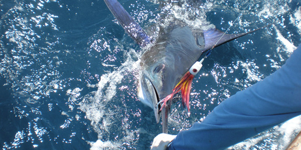 Striped Marlin about to be released