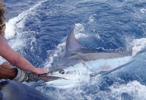 500 lbs. Blue Marlin