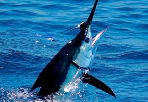 Mag Bay Striped Marlin on Fly