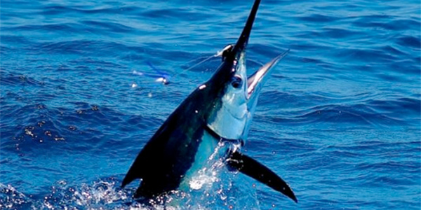 Mag Bay Striped Marlin on Fly