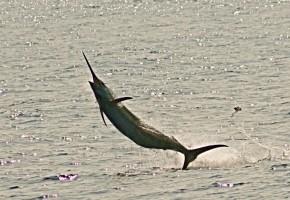 Samoa Blue Marlin