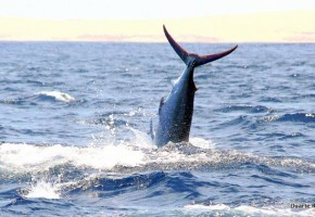 Black Marlin in Flight!