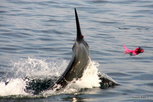 Black Marlin on Lures +