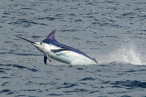 2010 Billfisheries of the Year – #1 Panama
