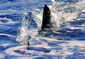 """Circle Hook"" Raises 80+ Sailfish in Guatemala"