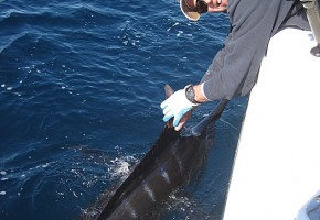 January Blue Marlin for Hatteras
