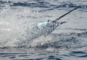 "30+ Sails a Day for ""Swordfish"" in Isla Mujeres"