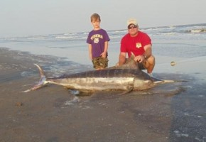 Not something you see every day…a beached marlin!