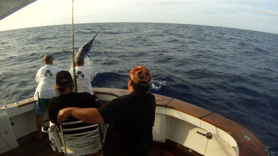 "Black Marlin on the Ribbon Reefs for ""Gorilla"""