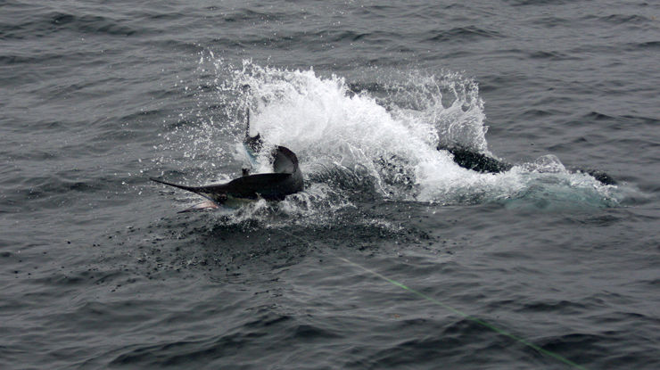 2011 Billfisheries of the Year – #9 (Tie) US Mid-Atlantic