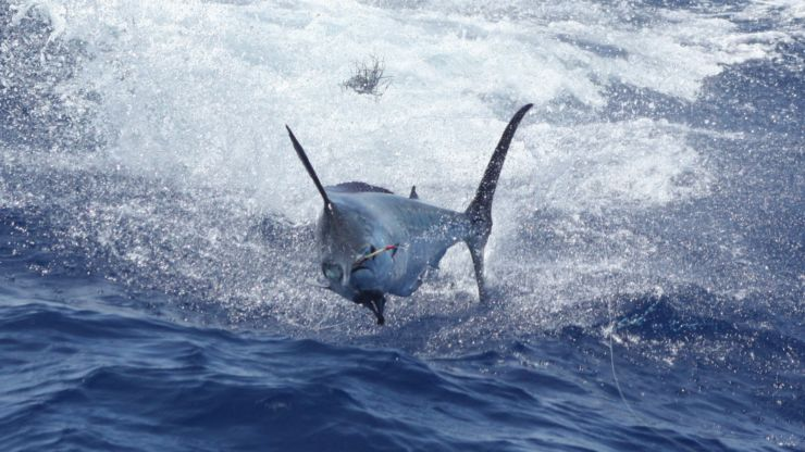 2011 Billfisheries of the Year – #3 Kona
