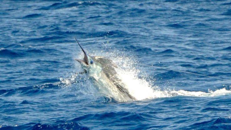 2011 Billfisheries of the Year – #2 Cape Verde Islands