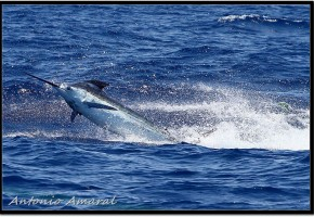 Royal Blue Marlin