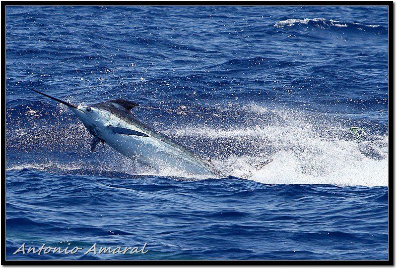 Royal Blue Marlin