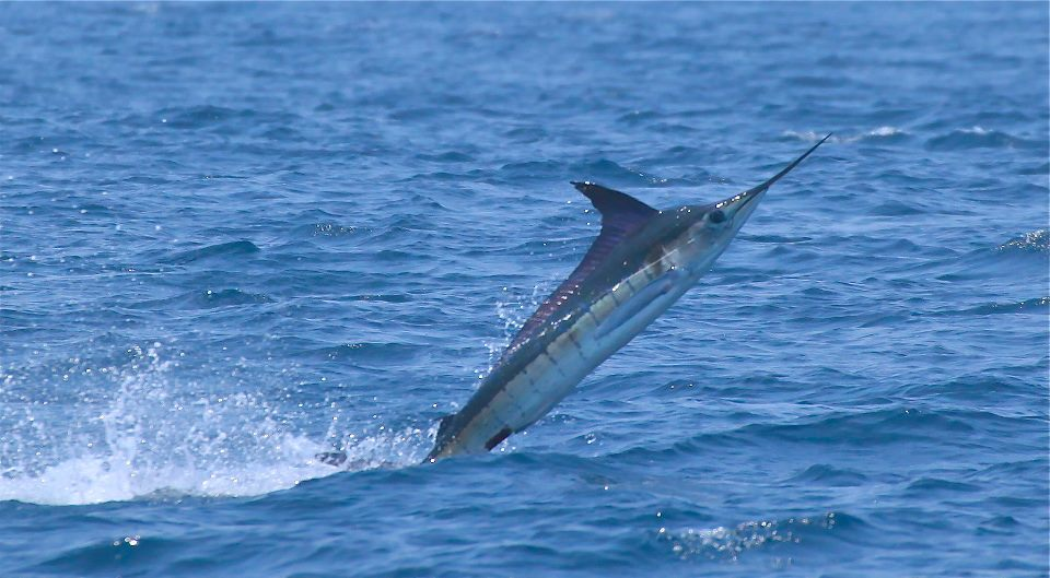 Frantic Pace Of Cabo Striped Marlin Billfish Report