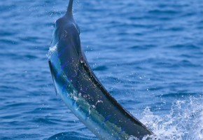 """Frantic Pace"" of Cabo Striped Marlin"
