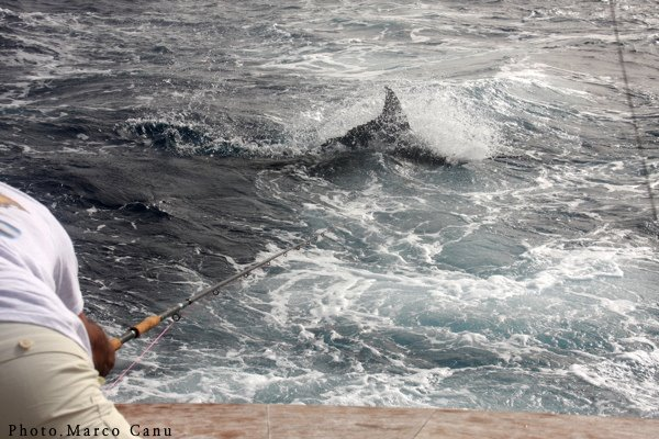 Blues on Fly in Cape Verdes