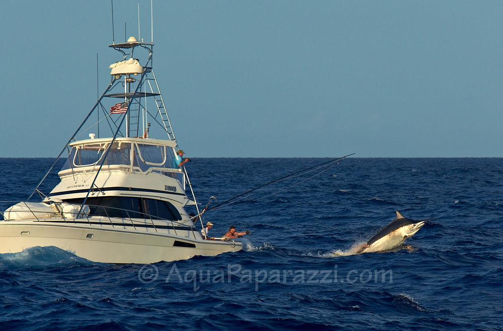 Massive Black Marlin on Release