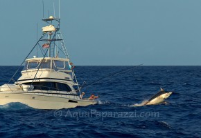 Massive Black Marlin on Release