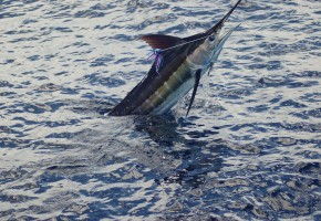 2012 Billfisheries of the Year – #5 Punta Cana, Dominican