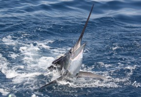 2012 Billfisheries of the Year – #7 Central Pacific, Costa Rica
