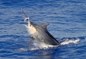 Mauritius Marlin Wave
