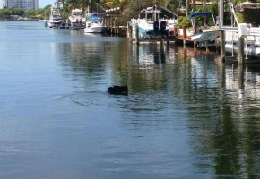 Sailfish in a Canal?