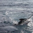 One of Sixteen Blue Marlin for Clean Sweep