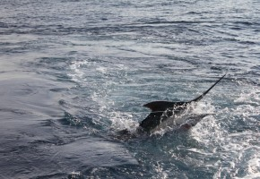 Clean Sweep Scores 16 Blue Marlin