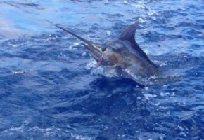 Louisiana Billfish Bite