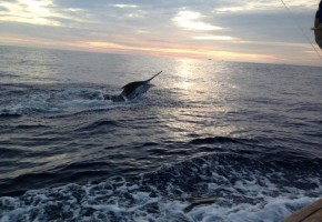 Oregon Inlet's White Marlin Bite Continues