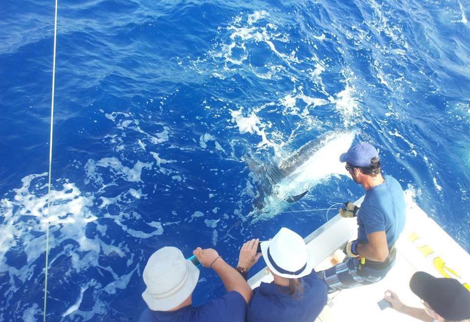 Blue Marlin Invade Grand Canary