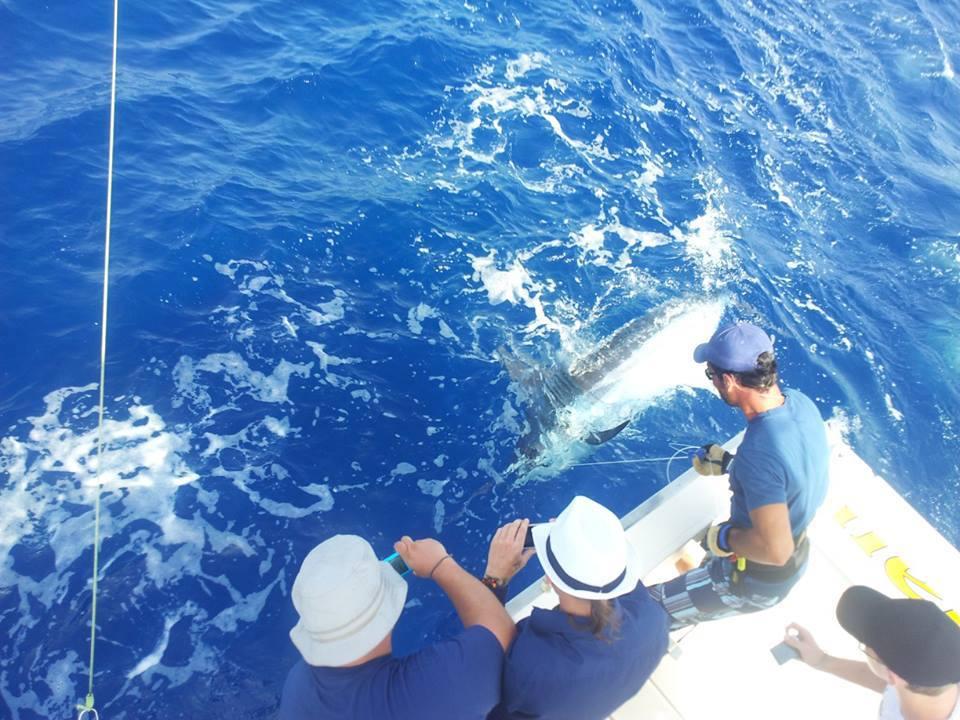 Blue Marlin release on Cavalier