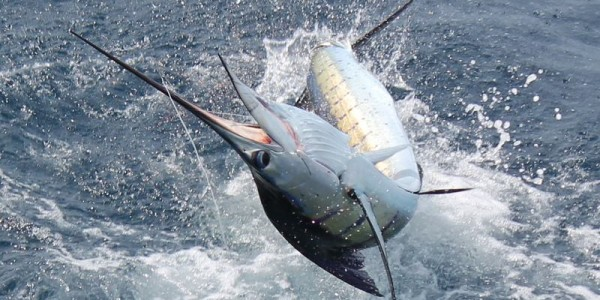 Sailfish on the Allure