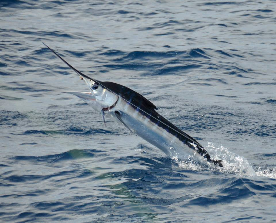 White Marlin on Qualifier