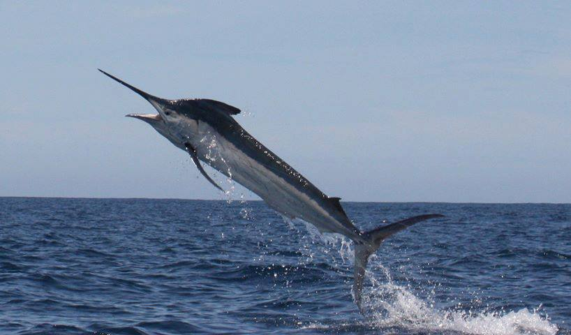 Black Marlin for On Strike