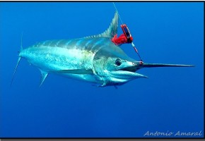 2013 Billfisheries of the Year – Honorable Mention Canavieiras