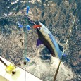 Blue Marlin on Shotgun