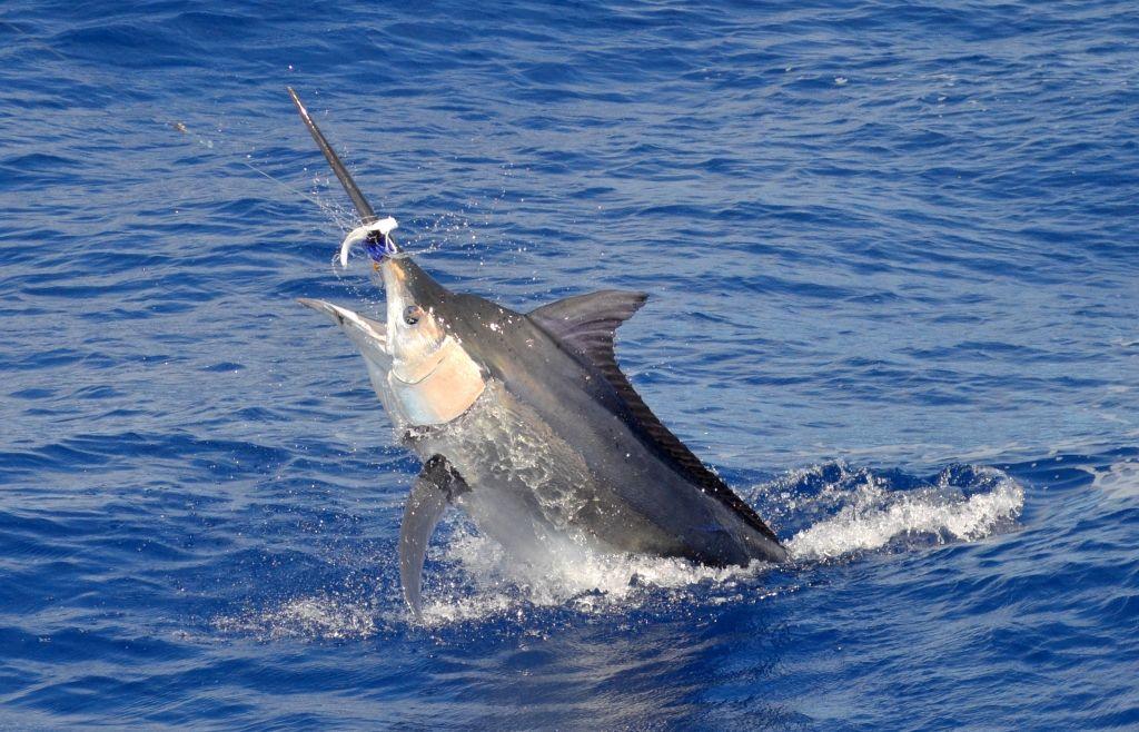 2013 Billfisheries of the Year – #10 Mauritius